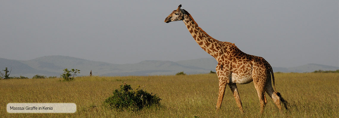 Massai Giraffe in Kenia